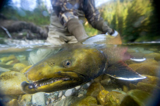 Bull Trout- photo courtesy US Fish and Wildlife Service