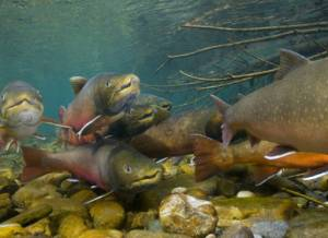Bull trout spawning aggregation, photo courtesy U.S. Fish and Wildlife Service.