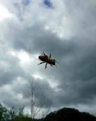 hampton-Bee